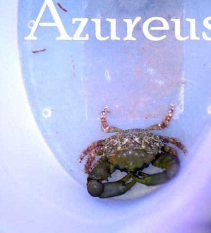 Cangrejos esmeralda, ideales para ayudar con las algas