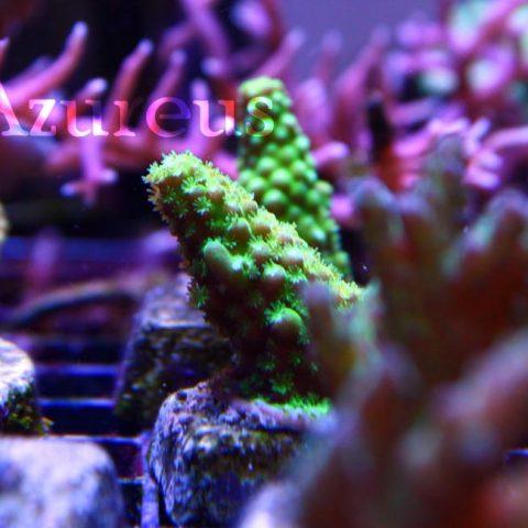 Nuestros esquejes de acro verde ultra. En cuanto huelen el fitoplancto sacan todos los pólipos coloridos