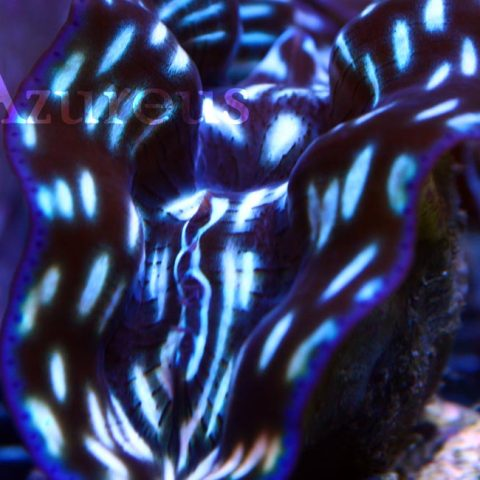 Nuestras Tridacnas derasa cada vez con más líneas de azul eléctrico. ¡Están creciendo que son una pasada!