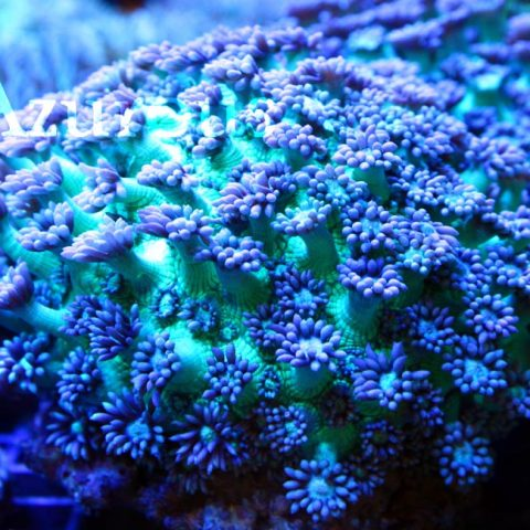 Las gonioporas abriendo los pólipos. El color crema del pólipo queda super chulo con el verde metálico del cuerpo