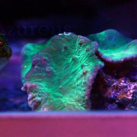 Sinularias verdes flúor, muy guapas, en breve en esquejes ;)