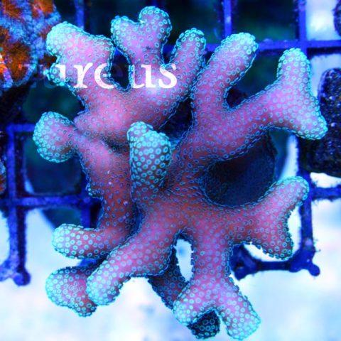 Unas vistas cenitales de nuestros esquejes de Stylophoras, preciosas las puntas de crecimiento