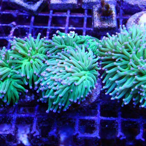 Esquejes de Euphyllia glabrescens disponibles, muy muy verdes y frondosos