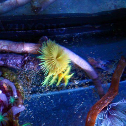 Plumero doble super amarillo, ¡muy guapo!