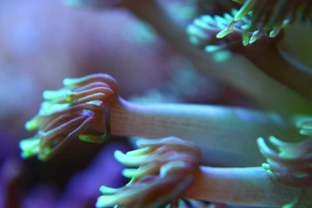 Detalle Macro de los pólipos mecidos por la corriente de un coral LPS: una goniopora en nuestro acuario de corales. Estos corales son hipnóticos y la alimentación con fito y zooplancton es muy recomendable.