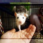 Ratas, las eternas incomprendidas