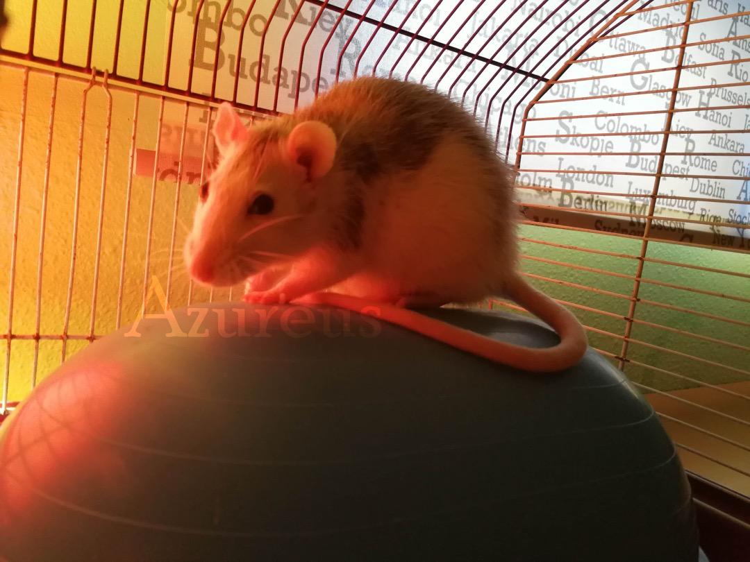 Mi rata estornuda ¿le pasa algo?   Clinica veterinaria y tienda de ...