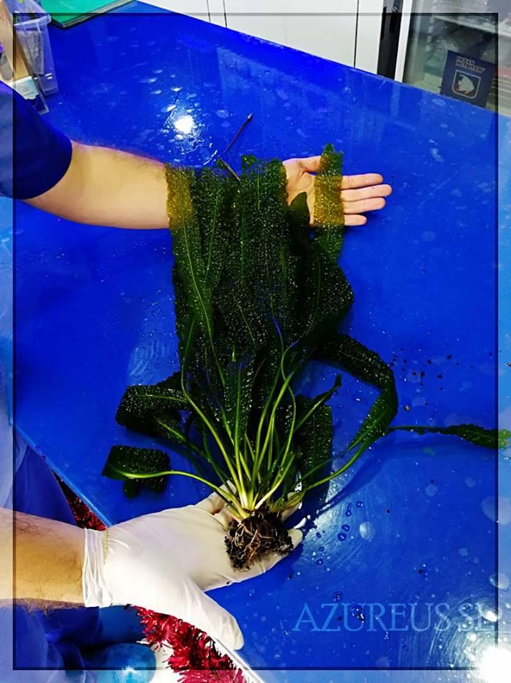 Aponogeton ulvaceus versus Jorge en Azureus. ¿Quién ganará? Es increíble que de un solo bulbo pueda generarse esta pedazo de planta. Son perfectas para acuarios de 80 litros en adelante (para los acuarios altos son una pasada).