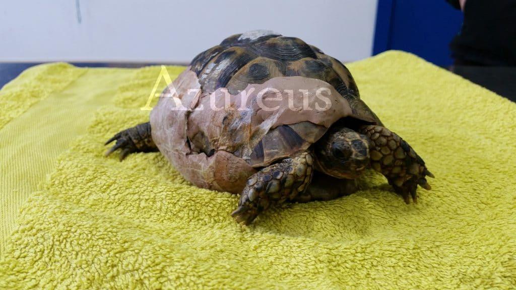 Tortu se apaña con su prótesis perfectamente, ¡incluso ha ganado más de 250 gramos!. Impresionante su recuperación gracias a los cuidados que su dueña le proporciona en casa.